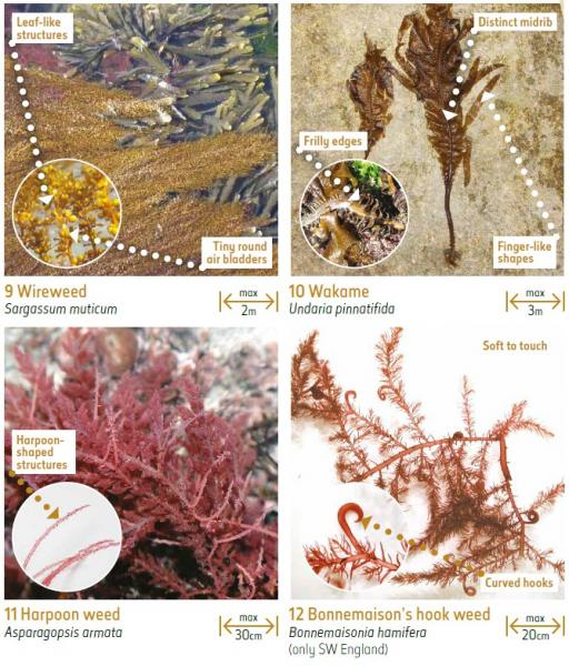 Non-native seaweeds