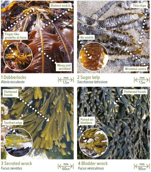 Seaweeds affected by sea temperature change